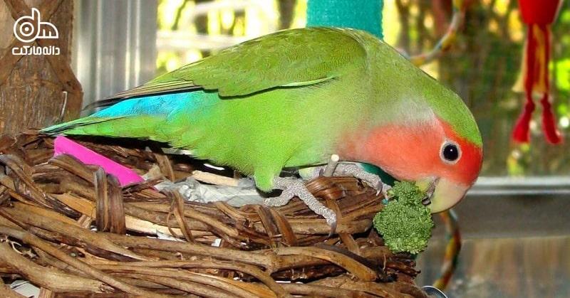 طوطی برزیلی