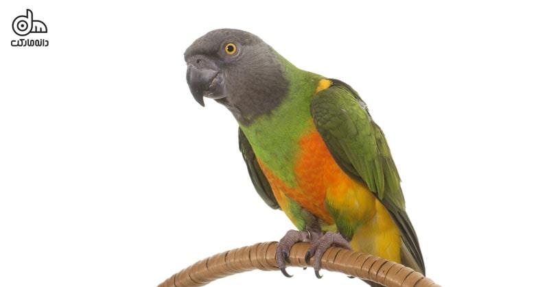 پرنده خانگی و انواع آن