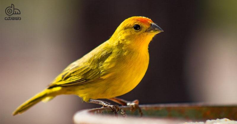 پرنده خانگی قناری