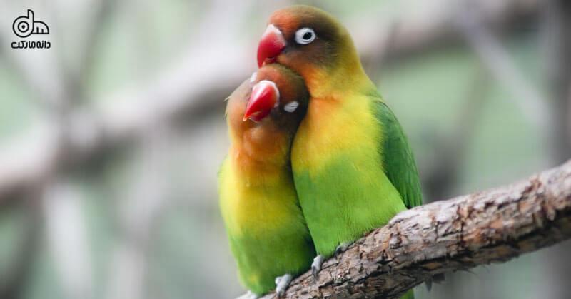 مرغ عشق پرنده خانگی برای کودکان