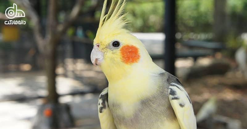 عروس هلندی پرنده زینتی