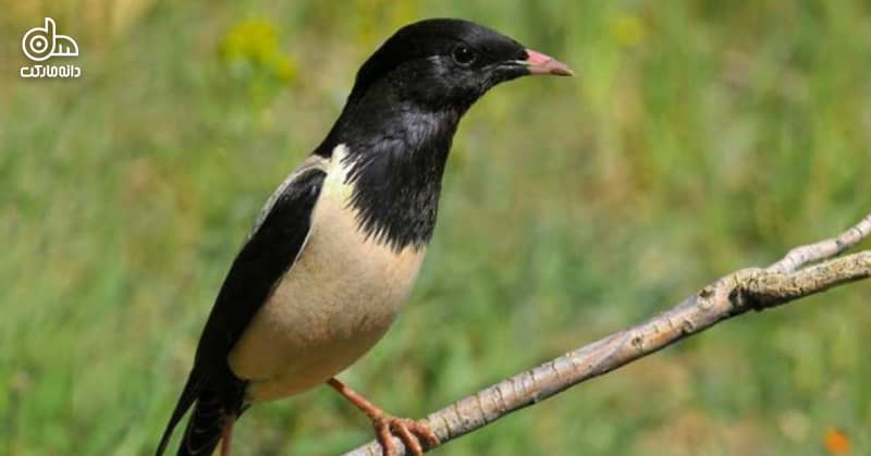 پرنده سار
