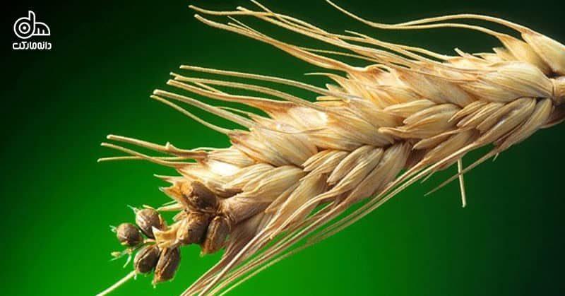 سیاهک گندم